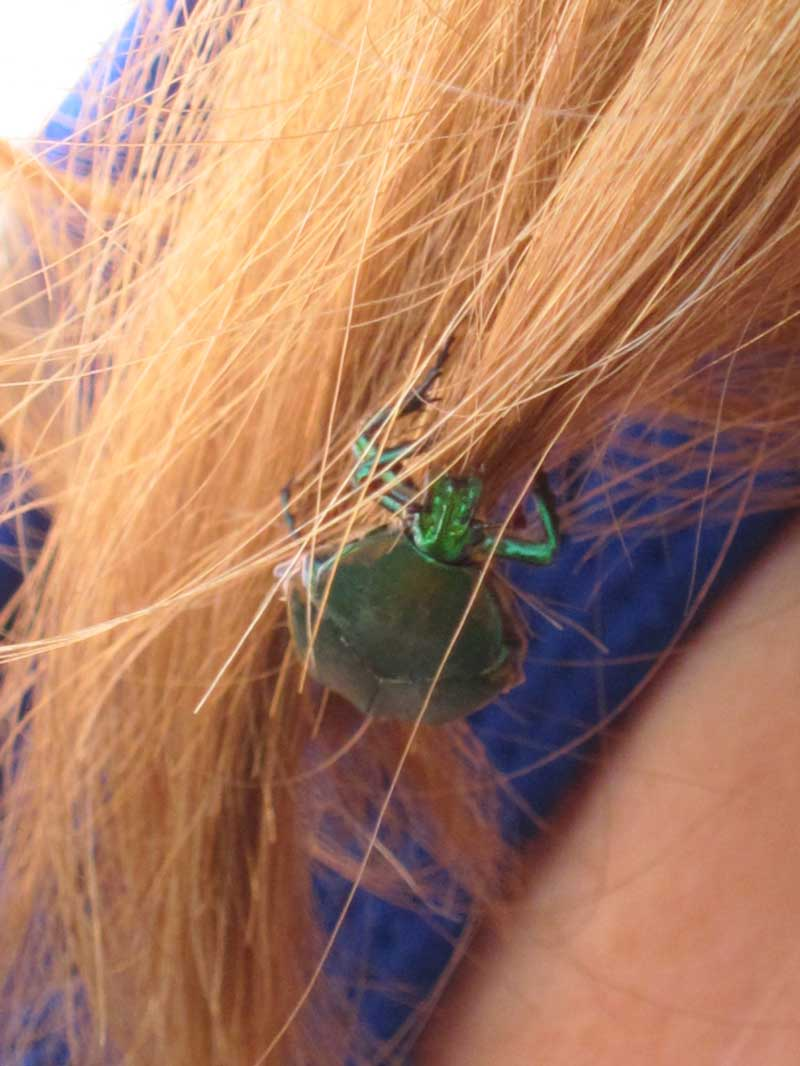 What does it mean when a beetle lands in your hair soul pursuits figeater beetle close up in hair buycottarizona
